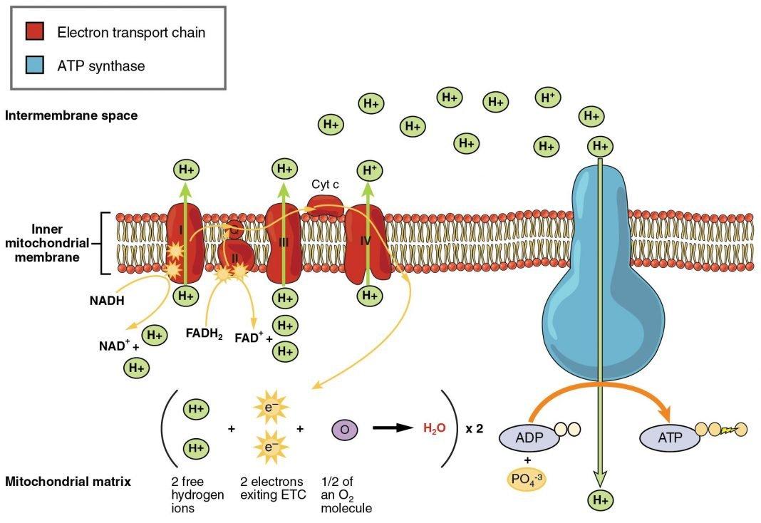 cellular respiration and fermentation ch 9 biological